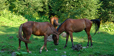 brown-horses_387x189px
